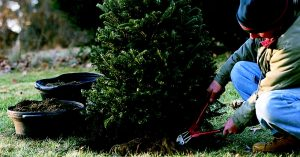 How to Plant a Christmas Tree in Your Backyard